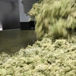 Elderflower going into the vat