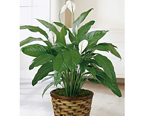 a peace lily plant in a wicker container with soil